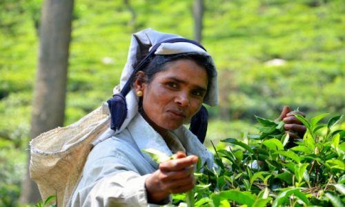 Zdjecie SRI LANKA / Południowa część / Ella / Lankijka na plantacji herbaty w Ella
