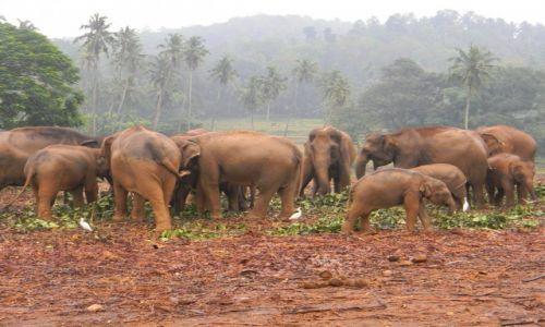 Zdjęcie SRI LANKA / Pinnawala / Pinnawala Elephant Orphanage / Slonie