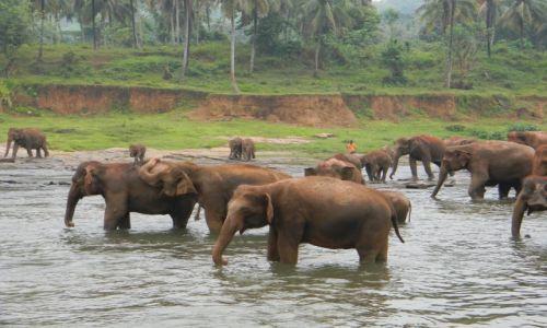 Zdjecie SRI LANKA / Pinnawela / Pinnawela elephant orphanage / Slonie przy wodopoju