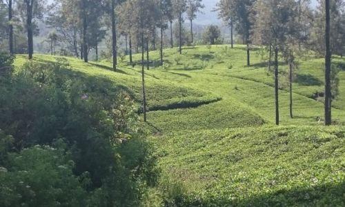 Zdjęcie SRI LANKA / Nuwara Eliya  / Nuwara Eliya  / Herbata