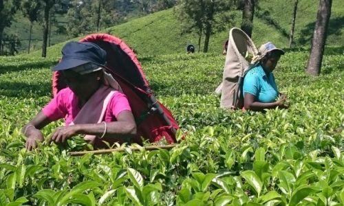 Zdjęcie SRI LANKA / Nuwara Eliya  / Nuwara Eliya  / Zbiór herbaty