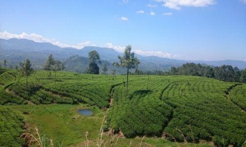Zdjęcie SRI LANKA / Nuwara Eliya  / Nuwara Eliya  / plantacja herbaty