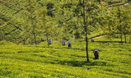 Zdjecie SRI LANKA / Nuwara Eliya / Nuwara Eliya / pola herbaciane z pociągu