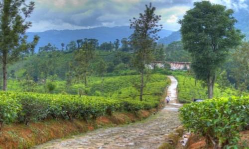Zdjęcie SRI LANKA / Ella / w drodze / Herbaciane pola
