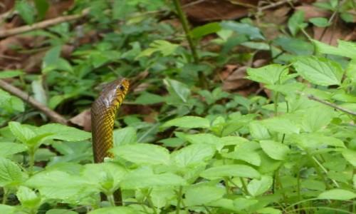 Zdjęcie SRI LANKA / Prowincja Centralna / Sigiriya / Wąż zapuszcza żurawia