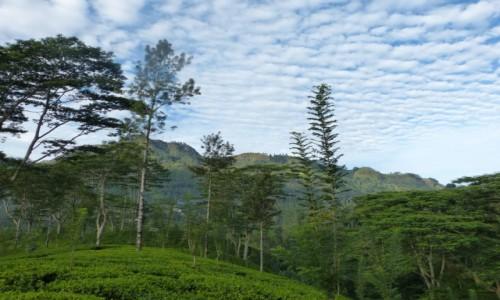 SRI LANKA / Prowincja Centralna / Nuwara Eliya / Wśród upraw herbaty