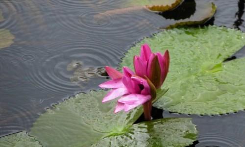 Zdjęcie SRI LANKA / Prowincja Centralna / Dambulla / A miał być sam lotos...