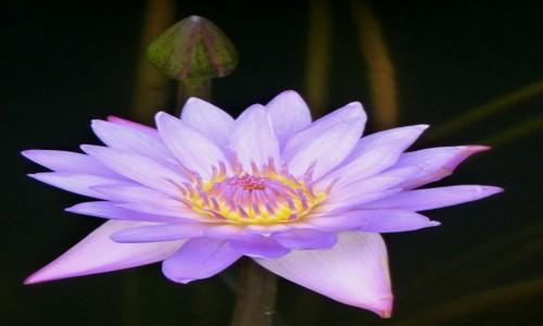 Zdjęcie SRI LANKA / Prowincja Centralna / Dambulla / Kwiat lotosu
