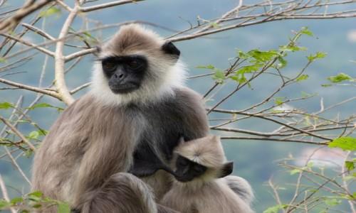 Zdjęcie SRI LANKA / Prowincja Północno-Centralna / Mihintale / Langury raz jeszcze