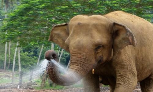 Zdjęcie SRI LANKA / Prowincja Sabaragamuwa / Pinnawala / Polewaczka