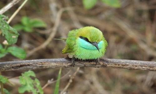 Zdjęcie SRI LANKA / Sabaragamuwa / Udawalawe National Park / Green bee-eater