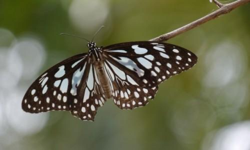 Zdjęcie SRI LANKA / - / Nilaveli / Motyllo