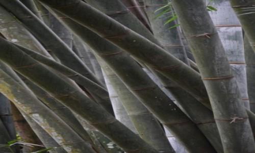 Zdjecie SRI LANKA / - / Kandy / Bambusy