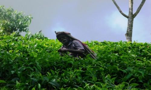 Zdjecie SRI LANKA / Deniyaya / Deniyaya / W herbacie
