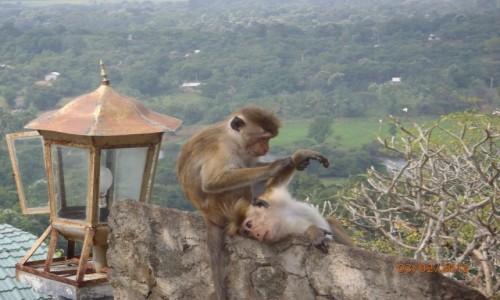 Zdjecie SRI LANKA / Dambulla / Dambulla / Małpki koło świątyni w Dambulla Sri Lanka