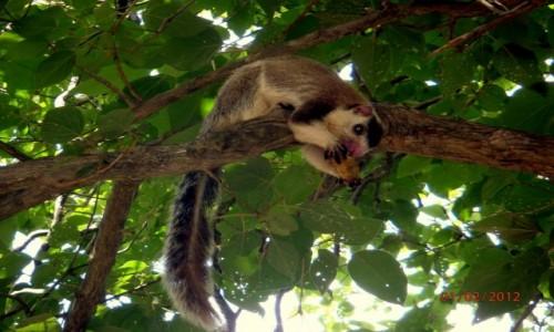 Zdjecie SRI LANKA / xxx / Sri Lanka / Zwierzątko z rodzinny wiewiórkowatych
