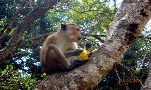Zdjecie SRI LANKA / xxx / Sri Lanka / Małpka złodziejka