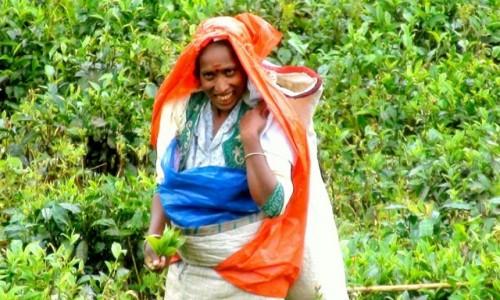 Zdjecie SRI LANKA / Plantacja herbaty cejlońskiej / Nuwara Elija / Pani z plantacji herbaty