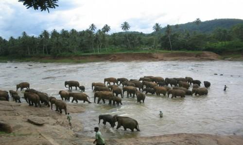 Zdjecie SRI LANKA / - /  Pinnawala Sierociniec dla Słoni  / Sri Lanka - Pinnawala Sierociniec dla Słoni