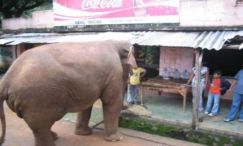 Zdjecie SRI LANKA / - / Sri Lanka / Słoń na zakupach