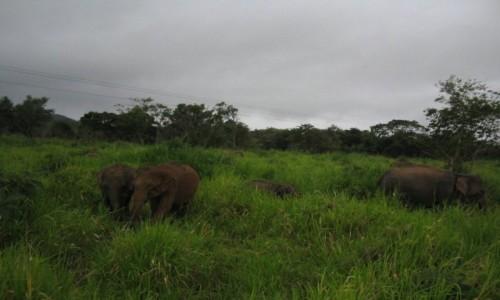 Zdjecie SRI LANKA / - / Minneriya National Park / Słonie w Minneriya National Park