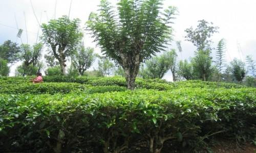 Zdjecie SRI LANKA / - / Plantacja herbaty Geragama sri lanka / Plantacja herbaty Geragama sri lanka