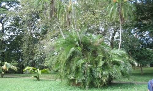 Zdjecie SRI LANKA / - / Sri Lanka - Królewskie Ogrody Botaniczne Peradeniya / Sri Lanka - Królewskie Ogrody Botaniczne Peradeniya
