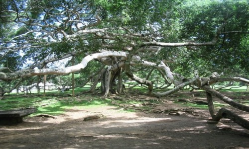 Zdjecie SRI LANKA / - / Ogród Botaniczny Peradeniya / Wielki figowiec (beniaminek)mówi się, że jest to największe drzewo na świecie.