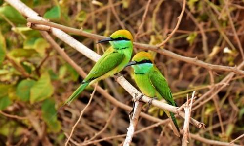Zdjecie SRI LANKA / Prowincja południowa / Yala National Park / Modelki - żołny zielone wschodnie