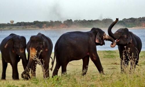 Zdjecie SRI LANKA / Habarana / Kaudulla National Park / Zabawy słoni u wodopoju