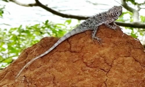 Zdjecie SRI LANKA / cały kraj / Cała wyspa / Kameleon