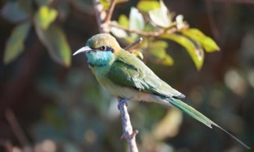 SRI LANKA / Yala / Yala / Kolorowy ptak, nie malowany