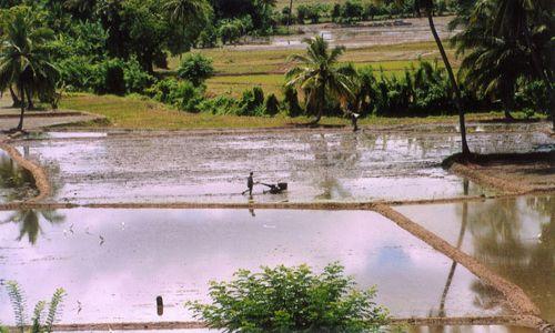 Zdjęcie SRI LANKA / brak / Polonnaruwa / Pola ryżowe