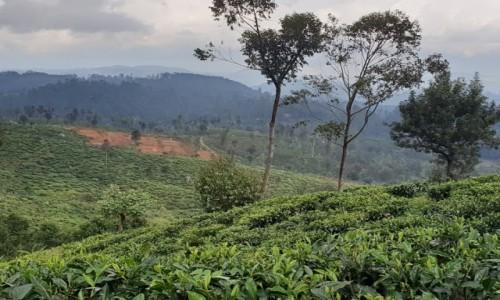 Zdjecie SRI LANKA / centrum wyspy / Sri Lanka / PLANTACJE HERBATY