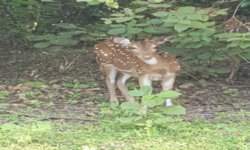 Zdjecie SRI LANKA / centrum wyspy / Sri Lanka / Jeleń - The Sri Lankan axis deer (Axis axis ceylonensis)
