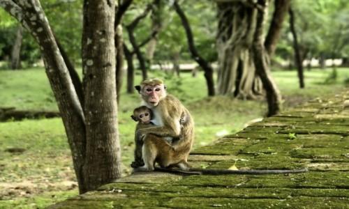 Zdjecie SRI LANKA / Polonnaruwa / Polonnaruwa / Małpki