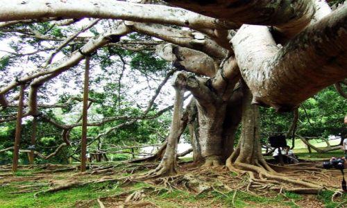 Zdjecie SRI LANKA / brak / brak / drzewo