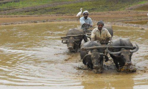 Zdjecie SRI LANKA / Beruwela / pola ryżowe / ciężka praca na polu ryżowym
