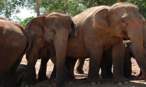 Zdjecie SRI LANKA / Pinnawela / Pinnawela / Jak Sri Lanka ,to słonie....
