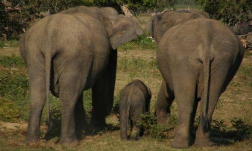 Zdjecie SRI LANKA / południe / Park Narodowy Yala / Słonie trzy
