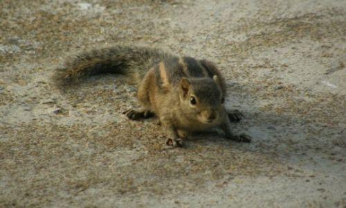Zdjecie SRI LANKA / południowy-zachód / Kalutara / wiewióreczka