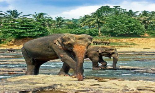 Zdjecie SRI LANKA / Pinnawala  / sierociniec słoni / kąpiel