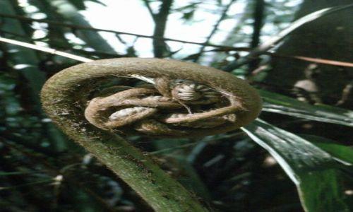 Zdjecie SRI LANKA / brak / Rezerwat deszczowego lasu Sinharaja / Paproc olbrzym