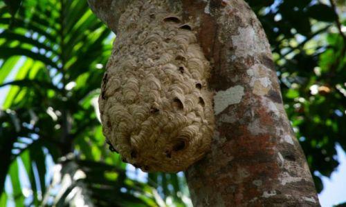 Zdjecie SRI LANKA / brak / Rezerwat deszczowego lasu Sinharaja / Gniazdo szerszeni