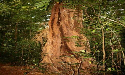 Zdjecie SRI LANKA / brak / Rezerwat deszczowego lasu Sinharaja / Drzewo