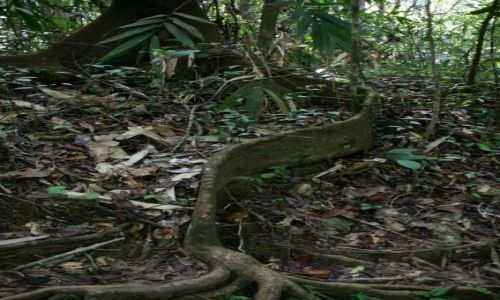 Zdjecie SRI LANKA / brak / Rezerwat deszczowego lasu Sinharaja / Korzen