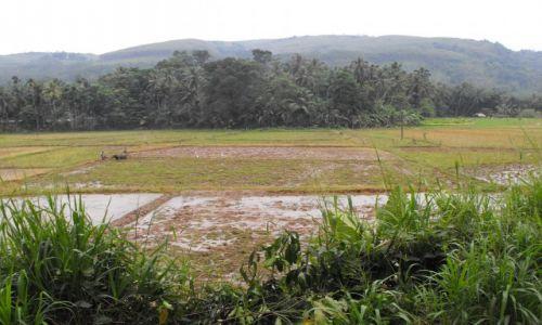 Zdjęcie SRI LANKA / okolice Kandy / gdzieś na trasie / na ryżowisku
