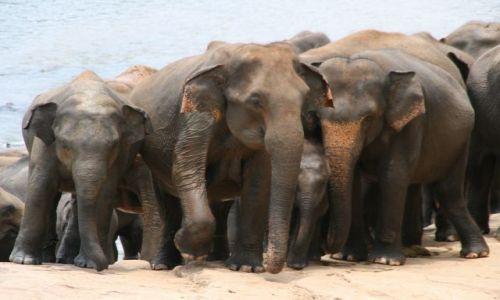 Zdjecie SRI LANKA / brak / Sierociniec sloni Pinnawela / Instynkt opiekunczy