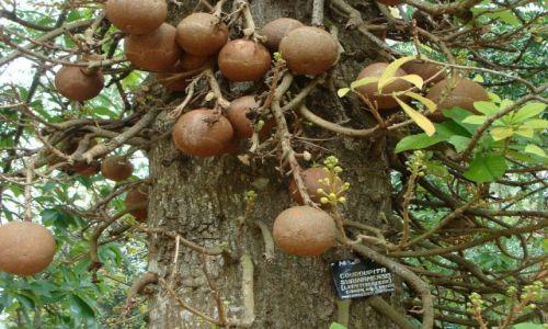 Zdjęcie SRI LANKA / okolice Kandy / Botanic Garden / drzewo armatnich kul