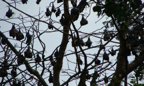 Zdjęcie SRI LANKA / okolice Kandy / Botanic Garden / latające lisy - lankijskie nietoperze